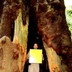 Giant Sequoia имеет больший диаметр ствола чем Coast Redwood, но высота его чуть меньше